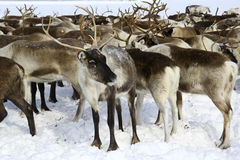 Reindeer in arctic Royalty Free Stock Images
