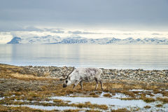 Reindeer in arctic summer stock photo