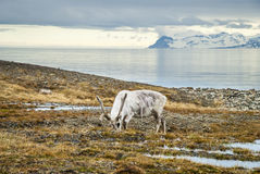 Reindeer in arctic summer stock photos