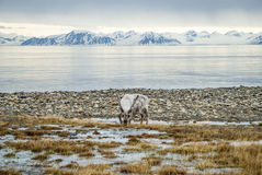 Reindeer in arctic summer Royalty Free Stock Photos