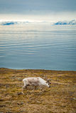 Reindeer in arctic summer stock image