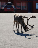 Reindeer in asphalt road of Norwegian town. Stock Photography