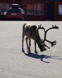 Reindeer in asphalt road of Norwegian town. Stock Photography