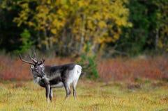 Reindeer in a autumn landscape, flatruet, sweden Royalty Free Stock Images