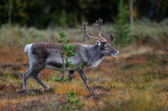 Reindeer in a autumn landscape, flatruet, sweden Royalty Free Stock Photography