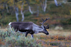 Reindeer in autumn landscape Royalty Free Stock Photos