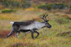 Reindeer in a autumn landscape Royalty Free Stock Image