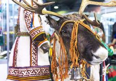 Reindeer on the background of national clothes of small peoples of the north of Siberia in Russia stock photo