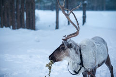 Reindeer in the background of a snowy landscape Stock Images