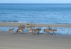 Reindeer on the beach Royalty Free Stock Photography