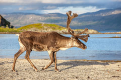Reindeer on the beach Stock Image