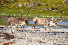 Reindeer on the beach Stock Images