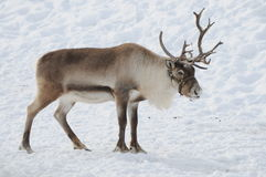 Reindeer. Beautiful reindeer found in the alps during Christmas time Stock Image