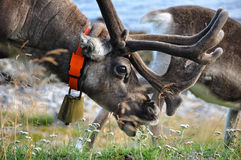 Reindeer with bell eating grass Stock Image
