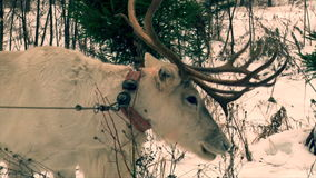 Reindeer with big antlers eating moss in the snow. Reindeer with big antlers feeding in the snow forest stock footage