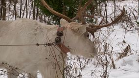 Reindeer with big antlers feeding in the snow. Forest stock footage