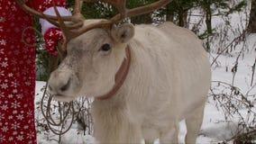 Reindeer with big antlers standing near Santa Claus in winter forest. Reindeer with big antlers standing near Santa Claus in forest stock video