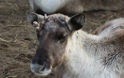 Reindeer broken antlers Stock Photography