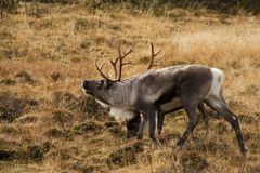 Reindeer bull Stock Images