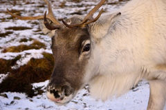 Reindeer bull in Scotland. Reindeer bull in the Cairngorm mountains, Scotland Stock Image