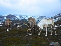Reindeer bulls in Scotland. Reindeer bulls sparring in the Cairngorm mountains, Scotland Royalty Free Stock Photos