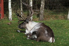 Reindeer in the Cairngorms National Park. The Cairngorm Reindeer are Britain`s only free-ranging herd of reindeer and are found in the Cairngorm mountains in Stock Photography