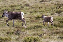 Reindeer with calf stock photo