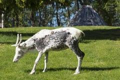 Reindeer calf Stock Photography