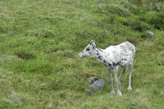 Reindeer Calf Royalty Free Stock Photo