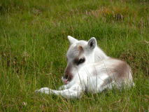 Reindeer calf in Scotland. Reindeer calf sleeping in the Cairngorm mountains, Scotland Royalty Free Stock Image