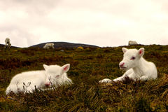 Reindeer calves in Scotland. Reindeer calves sleeping in the Cairngorm mountains, Scotland Stock Images