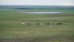Reindeer caravan goes on the tundra. The Yamal Peninsula. Summer in tundra stock video