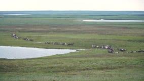 Reindeer caravan goes on the tundra. The Yamal Peninsula. stock video footage