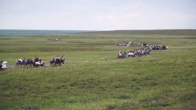 Reindeer caravan goes on the tundra. The Yamal Peninsula. Summer in tundra stock video footage