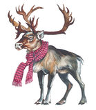 Reindeer (Caribou). In a scarf protects health Stock Images