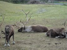 Reindeer Caribou in Alaska grazing in a grassy field. Grouped together as a herd royalty free stock image