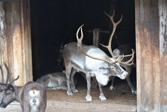 Reindeer. Caribou with big antlers together with its conspecific royalty free stock photos