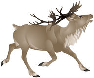 Reindeer or caribou in North America Stock Photo
