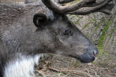 The reindeer. Caribou in North America is a species of deer, native to arctic, subarctic, tundra, boreal, and mountainous regions of northern Europe, Siberia Stock Images