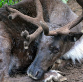 The reindeer. Caribou in North America is a species of deer, native to arctic, subarctic, tundra, boreal, and mountainous regions of northern Europe, Siberia Royalty Free Stock Photography