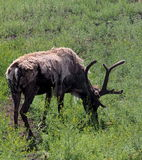 Reindeer Or Caribou Or Rangifer Tarandus. Grazing  in field Royalty Free Stock Photo