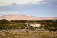 Reindeer or caribou in Sweden. Reindeer or caribou walking across tundra of Sweden on sunny fall day Stock Photo