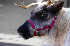 Reindeer or Caribou Royalty Free Stock Images