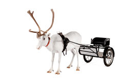 Reindeer or caribou wearing europian harness. Reindeer wearing europian harness, Rangifer tarandus, on white Stock Photos
