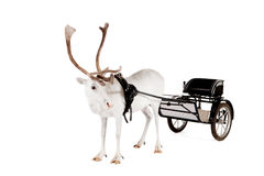 Reindeer or caribou wearing europian harness Stock Photo