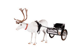 Reindeer or caribou wearing europian harness. Reindeer wearing europian harness, Rangifer tarandus, on white Stock Images