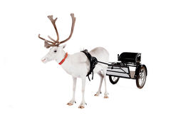 Reindeer or caribou wearing europian harness. Reindeer wearing europian harness, Rangifer tarandus, on white Stock Image