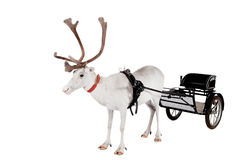 Reindeer or caribou wearing europian harness. Reindeer wearing europian harness, Rangifer tarandus, on white Stock Photo