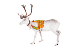 Reindeer or caribou wearing traditional harness. Reindeer wearing traditional harness, Rangifer tarandus, on white Stock Photography