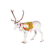 Reindeer or caribou wearing traditional harness. Reindeer wearing traditional harness, Rangifer tarandus, on white Stock Image